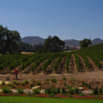 Justin Winery vineyards