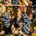 Syrah grapes at Voladores vinyard